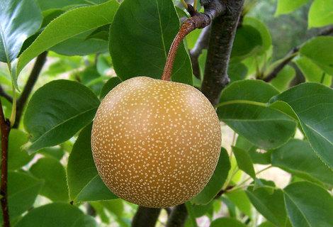 Asian pear