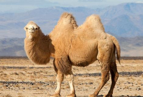 Camel animal