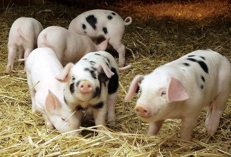 Pigs animal
