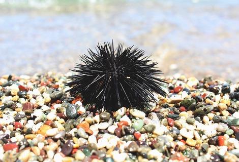 Sea urchin 2496947 1280